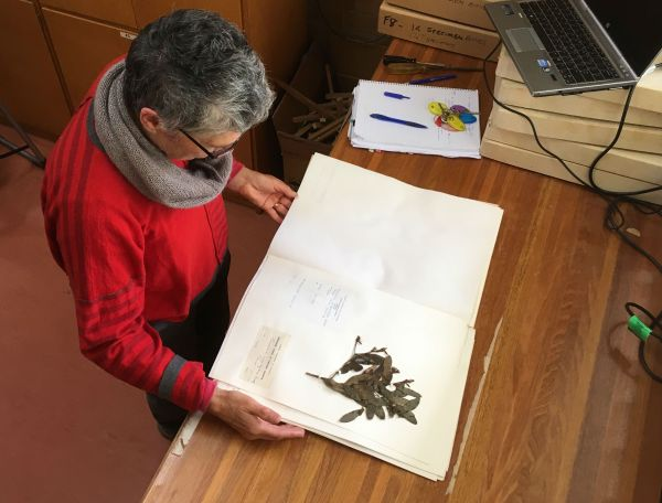 Preparing the Victorian School of Forestry Herbarium for transfer