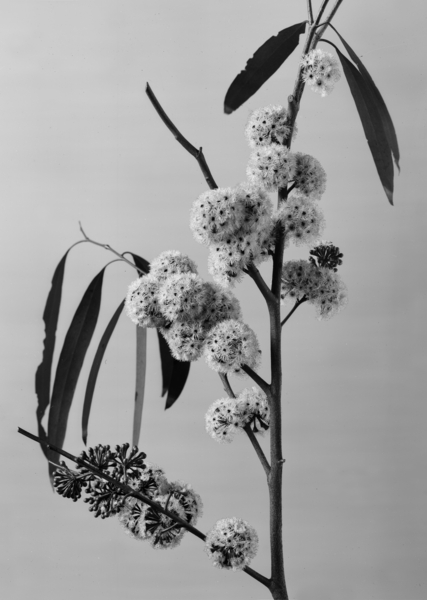 Sir Russell Grimwade [photographer], Eucalyptus Radiata, c.1918. Sir Wilfrid Russell Grimwade Collection. University of Melbourne Archives